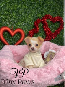 Cookie Teacup Apple Head Long Coat Chihuahua Puppy For Sale
