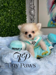 Paco Teacup Pomeranian Puppy For Sale