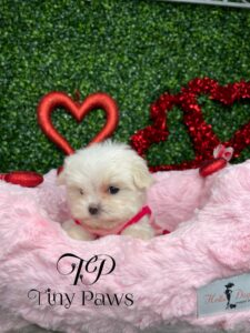 Emily Tiny Teacup Maltese Puppy For Sale