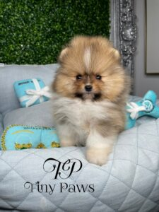 Patric Teacup Teddybear Pomeranian Puppy For Sale