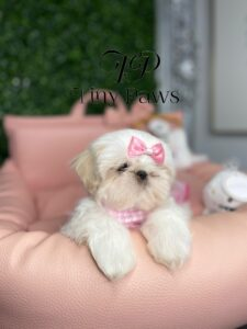 Gorgeous Imperial Shih Tzu Puppy For Sale