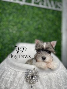 Tiny Mini Schnauzer Puppy For Sale