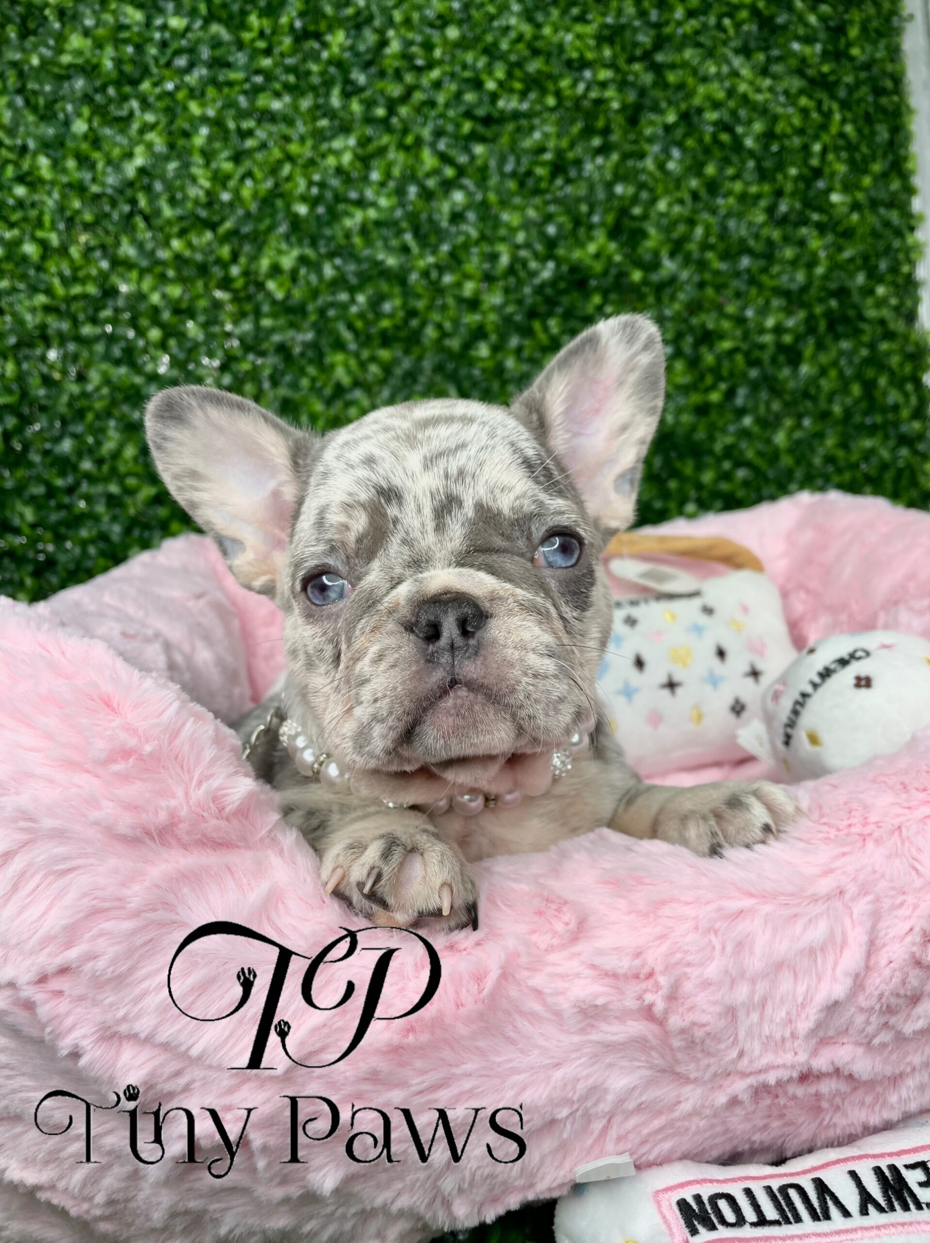 Lilac & Blue Merle French Bulldog Puppy For Sale