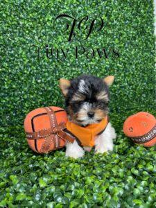 Teacup Biewer Yorkie Puppy For Sale