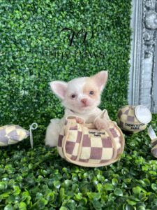 Teacup Long Coat Chihuahua Puppy For Sale