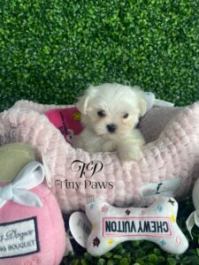 Teacup Maltese Puppy For Sale