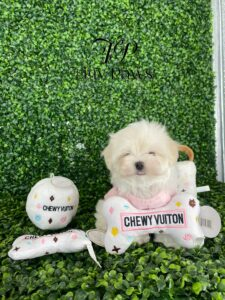 Toy Maltese Puppy For Sale