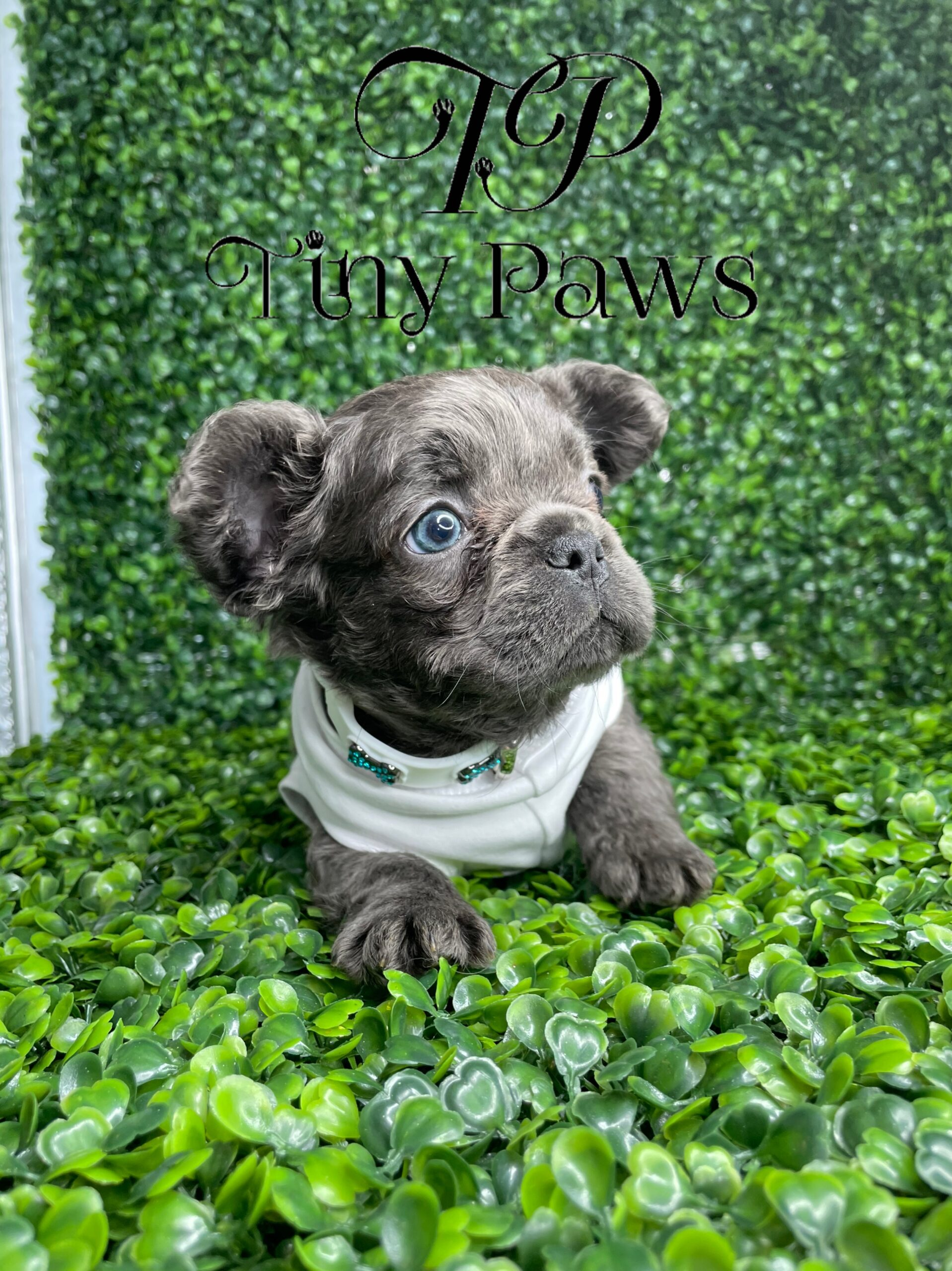 Blue Fluffy French Bulldog Puppy For Sale
