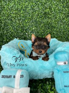 Tiny Teacup Yorkie Puppy For Sale