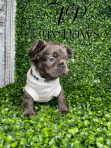 Blue Fluffy French Bulldog Puppy For Sale With Blue Eyes