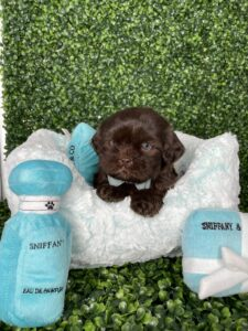 Chocolate Shihpoo Puppy For Sale