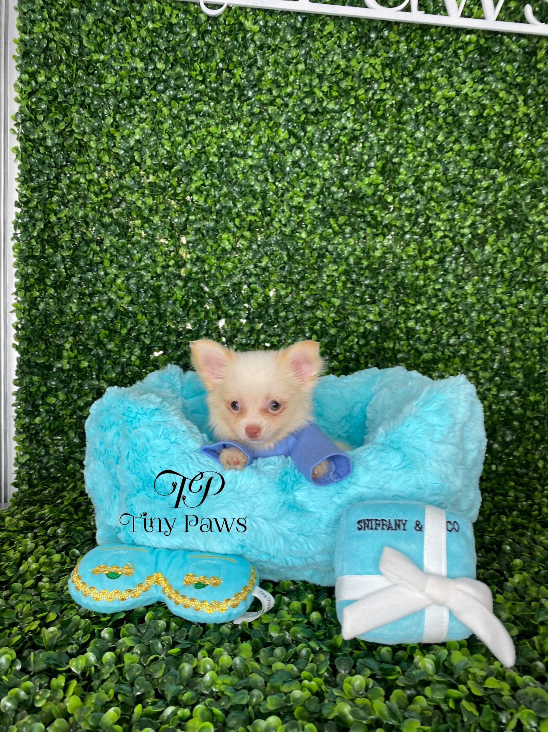 Long Coat Apple Head Chihuahua Puppy For Sale