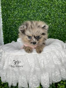 Blue Merle Teacup Pomeranian For Sale