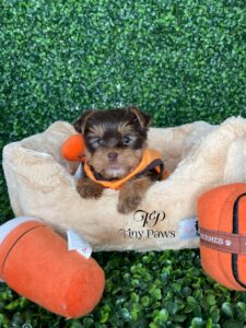 Chocolate Tiny Teacup Yorkie Puppy For Sale