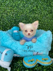 Long Coat Chihuahua Puppy For Sale