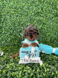 Blue Merle Tiny Poodle Puppy For Sale