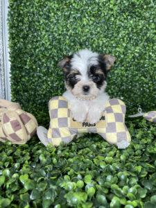 Tri-Color Biewer Puppy For Sale
