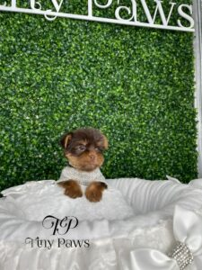 Tiny Teacup Chocolate Yorkie Puppy For Sale