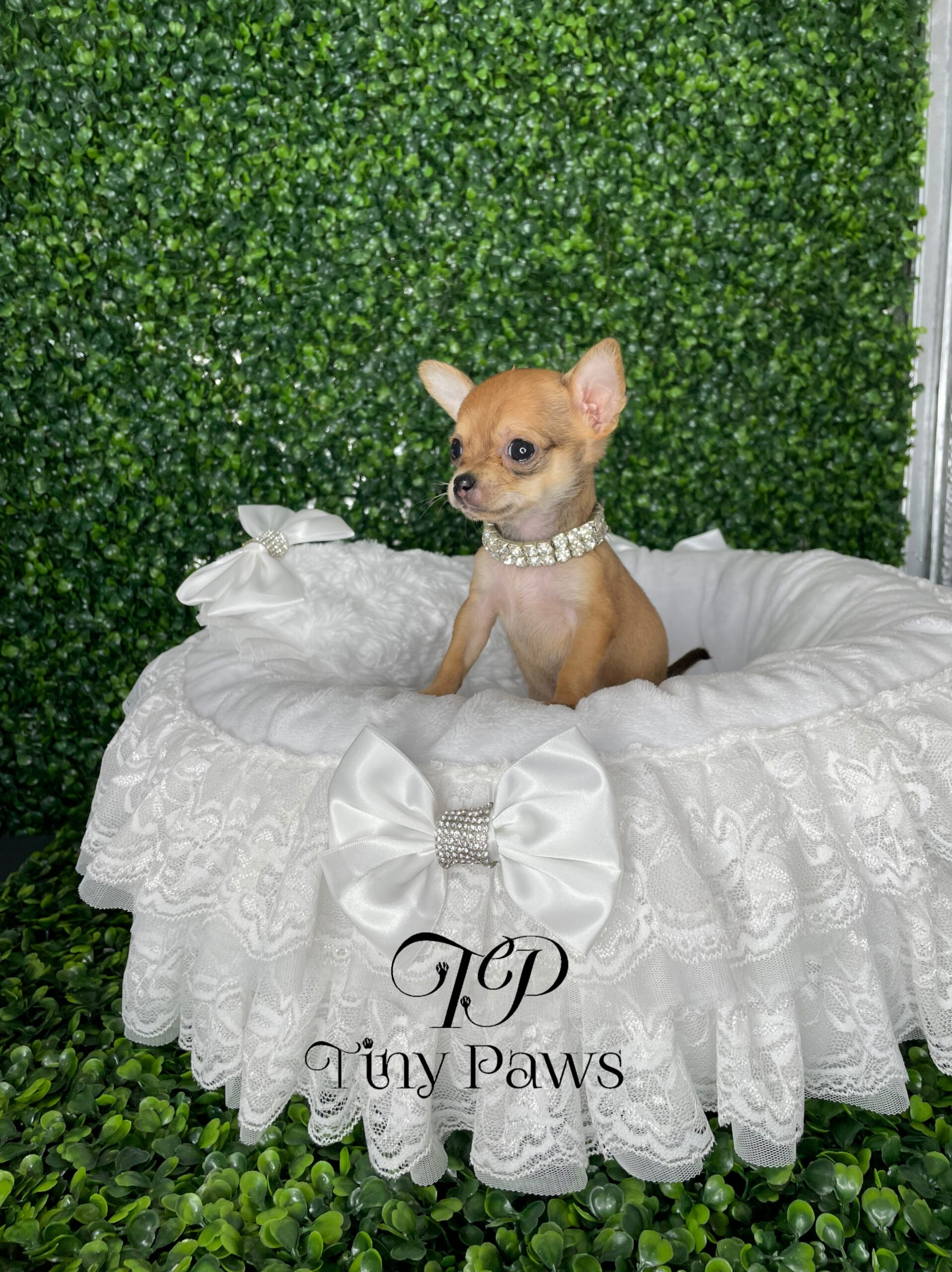 Teacup Apple Head Chihuahua Puppy For Sale