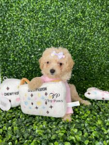 Tiny Poodle Puppy For Sale