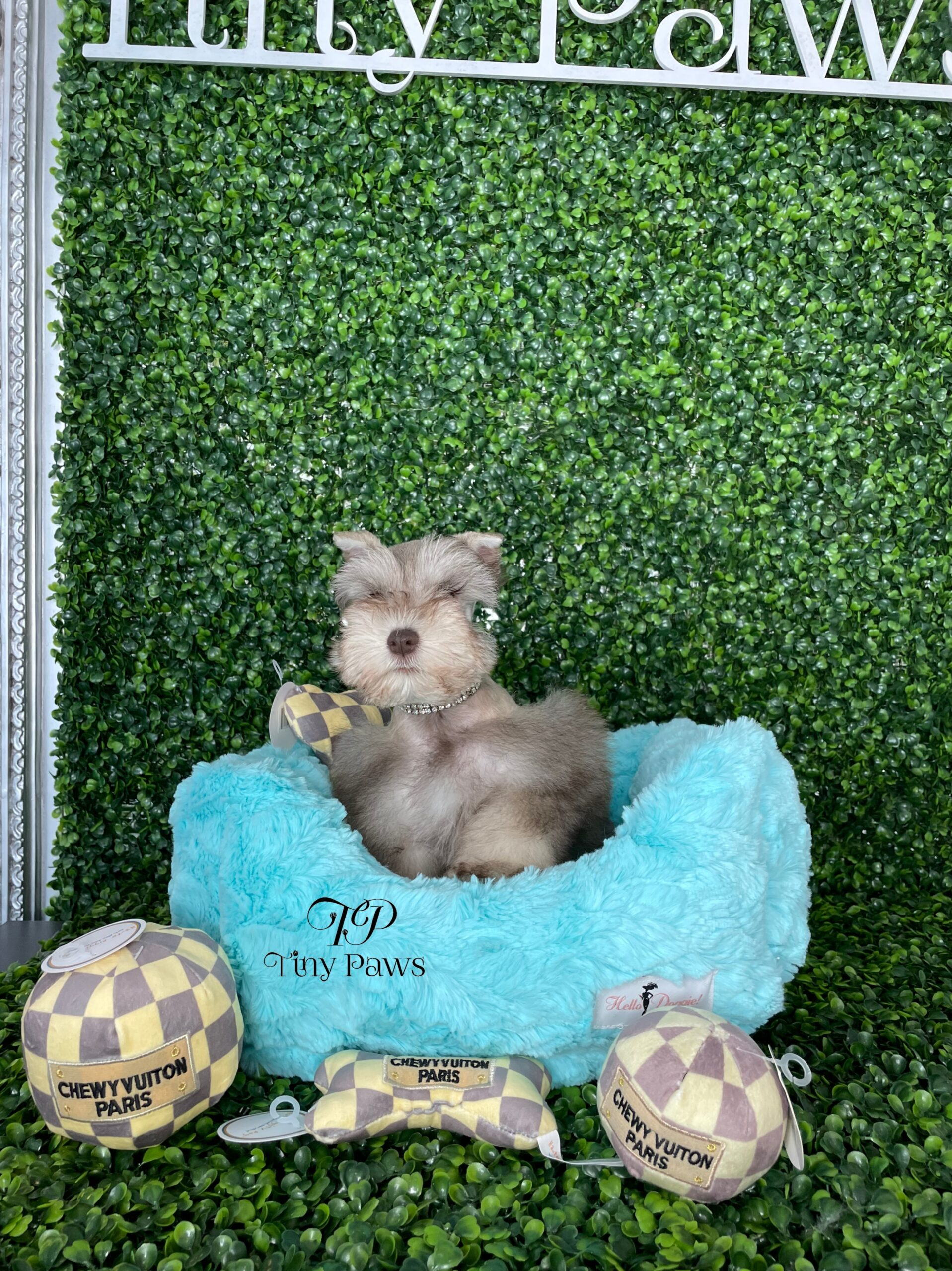 Tiny Mini Schnauzer Puppy For Sale