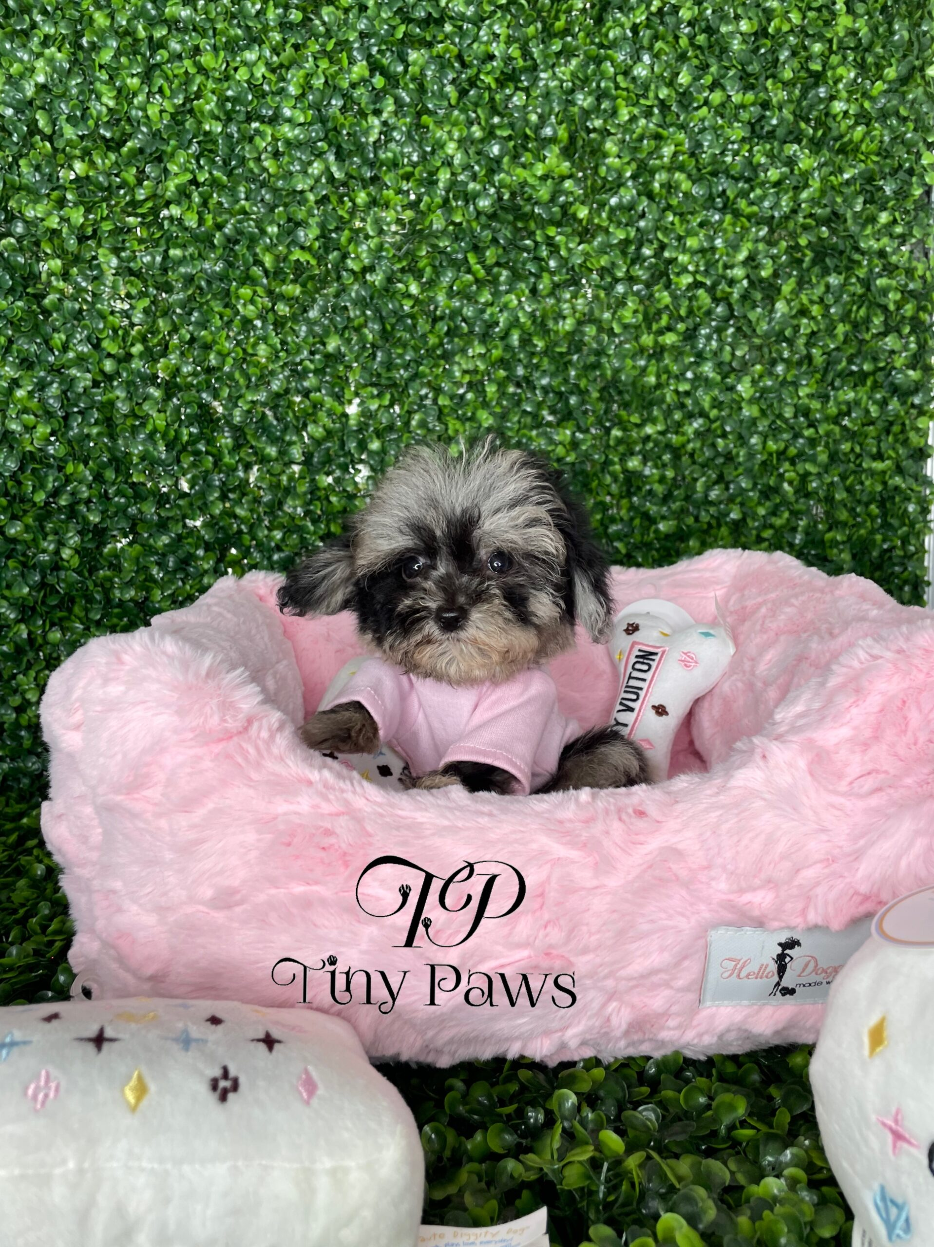 Blue Merle Teacup Poodle Puppy For Sale