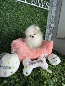 Tiny Pomeranian Puppy For Sale