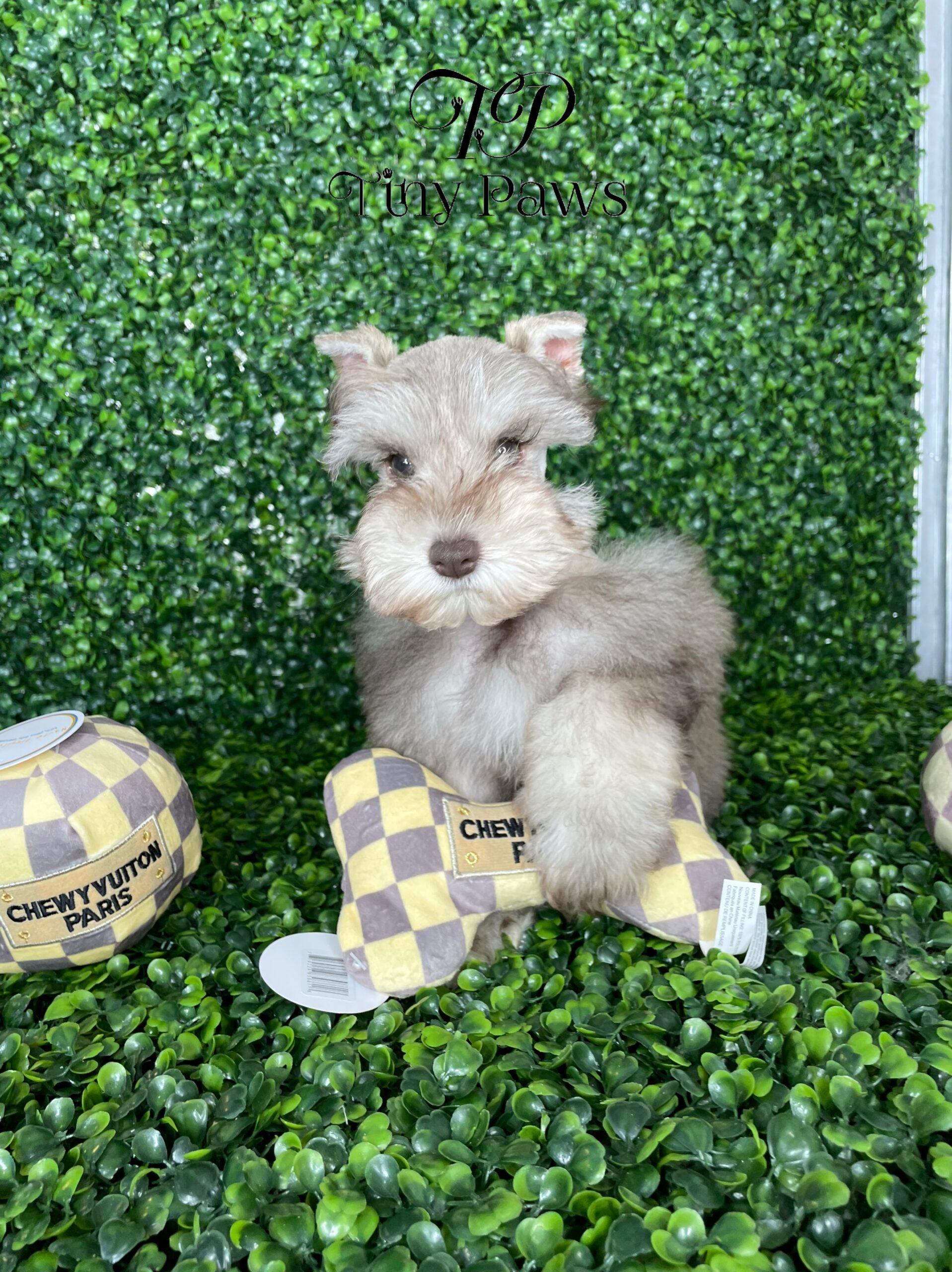 Tiny Mini Schnauzer Puppy For SaleTiny Mini Schnauzer Puppy For Sale