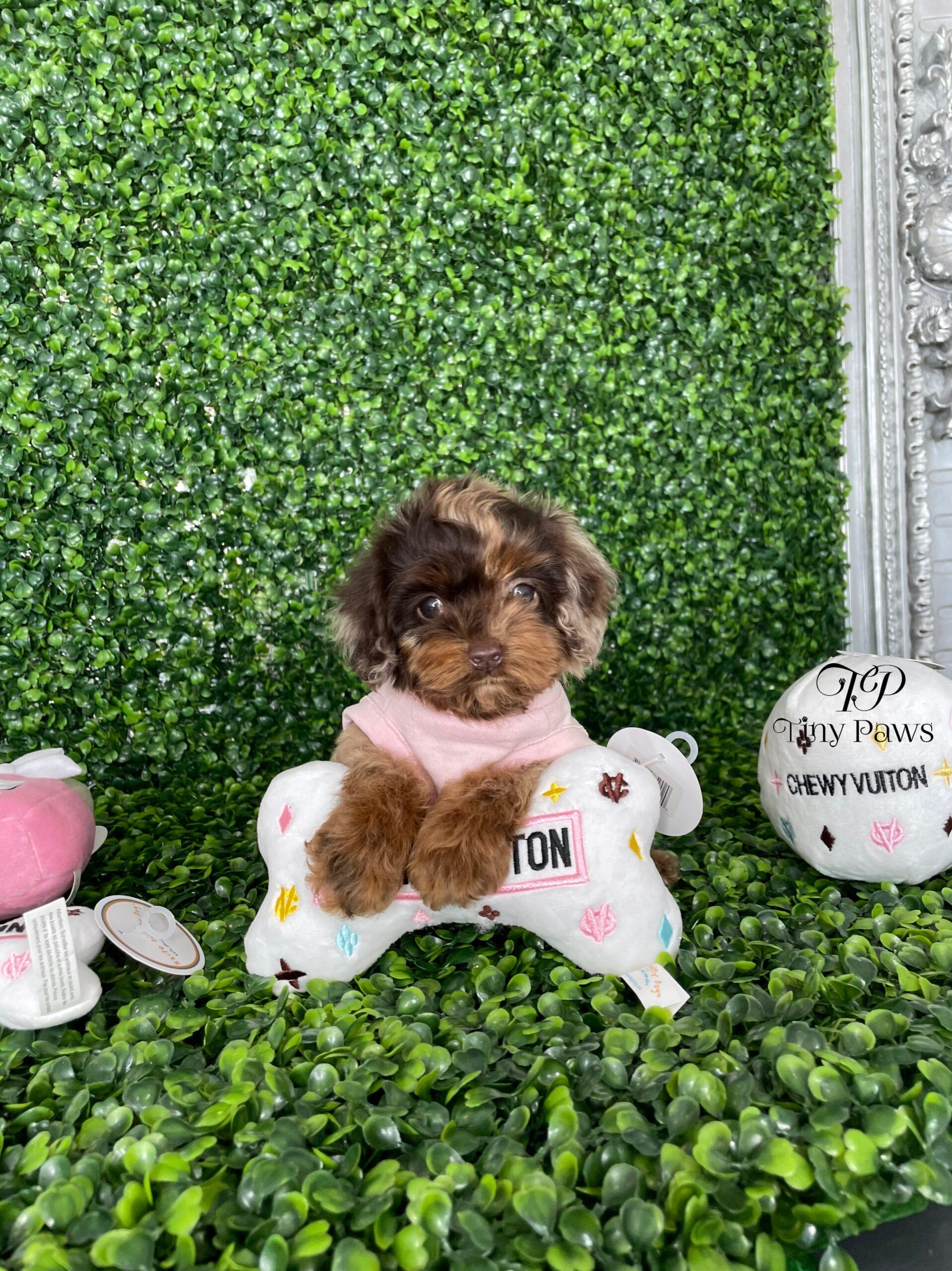 Mini Schnoodle Puppy For Sale
