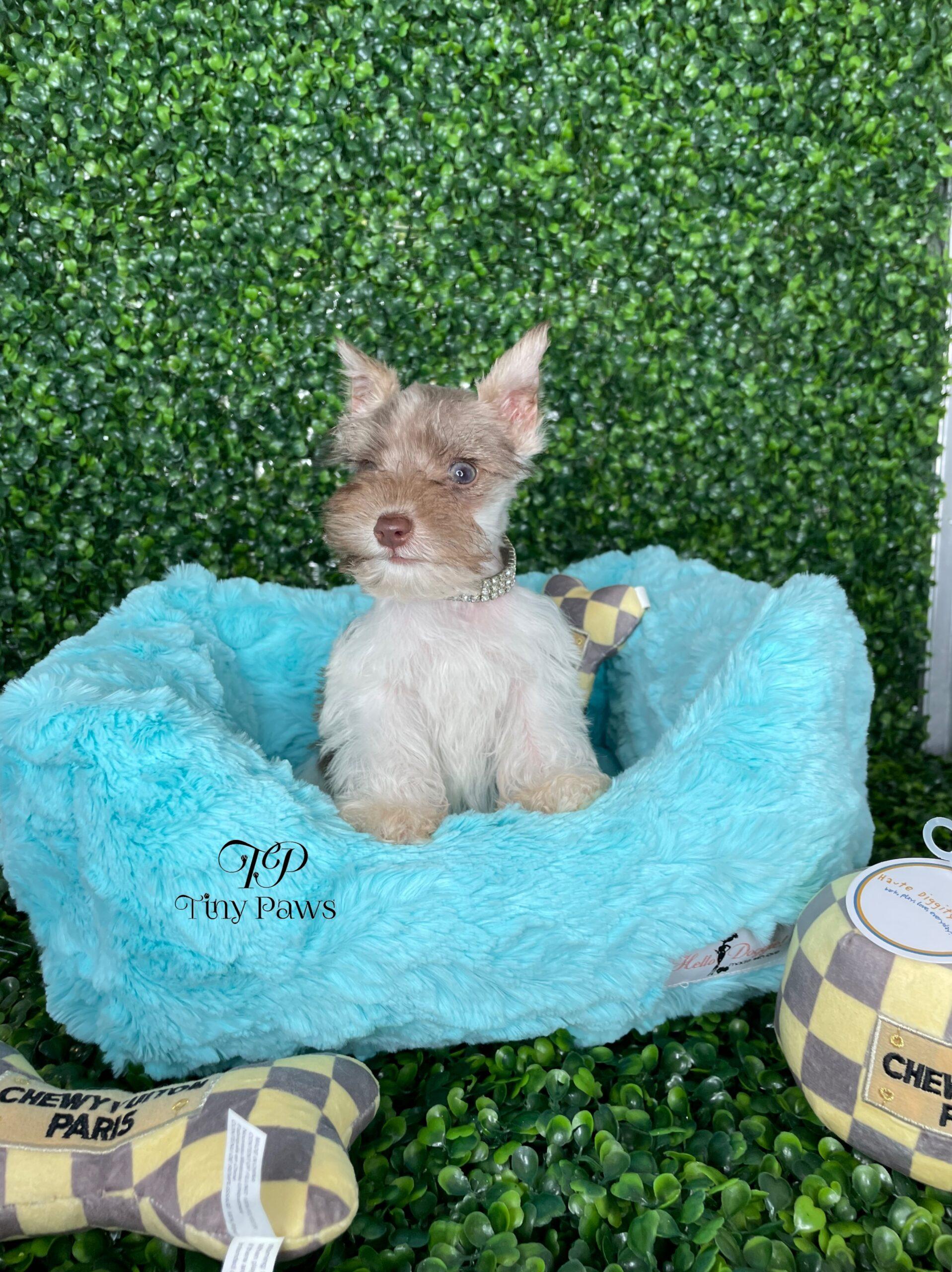 Tiny Miniature Schnauzer Puppy For Sale