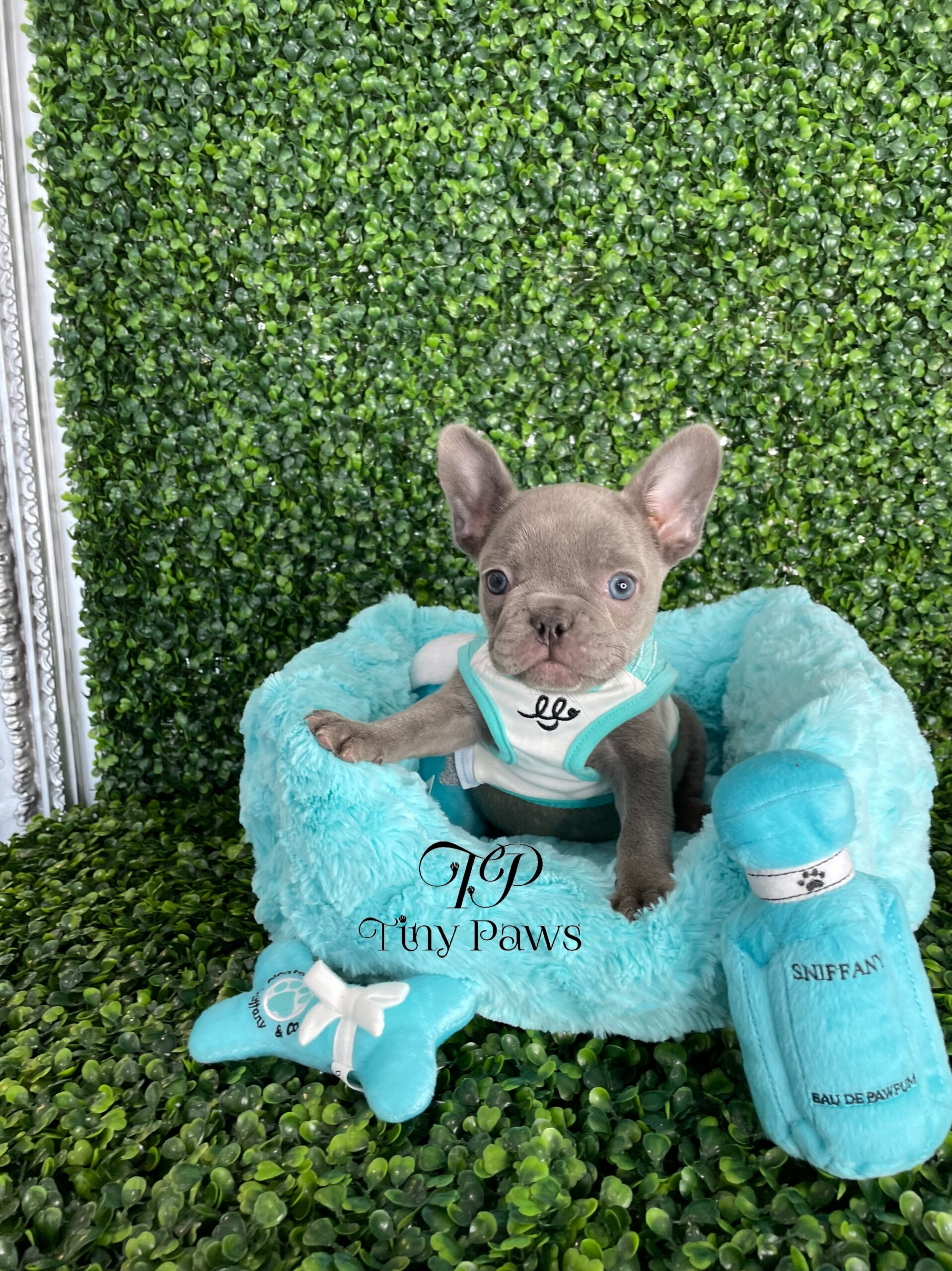 Lilac French Bulldog Puppy For Sale