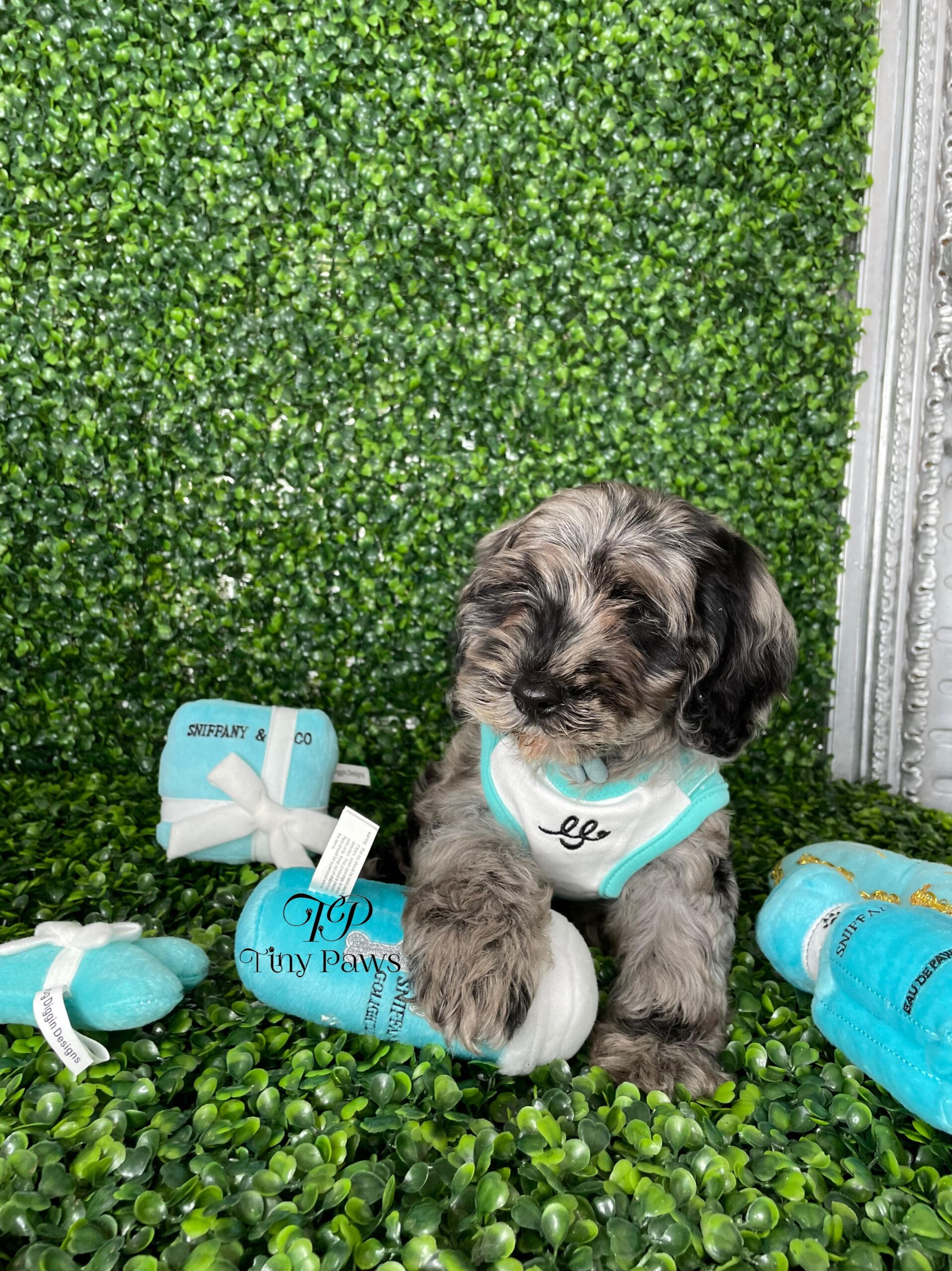Miniature Cockapoo Puppy For Sale