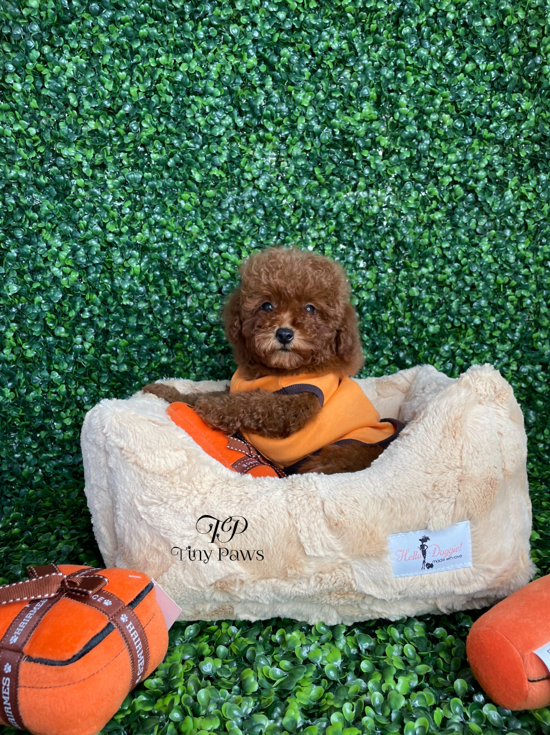 Tiny Red Poodle Puppy For Sale