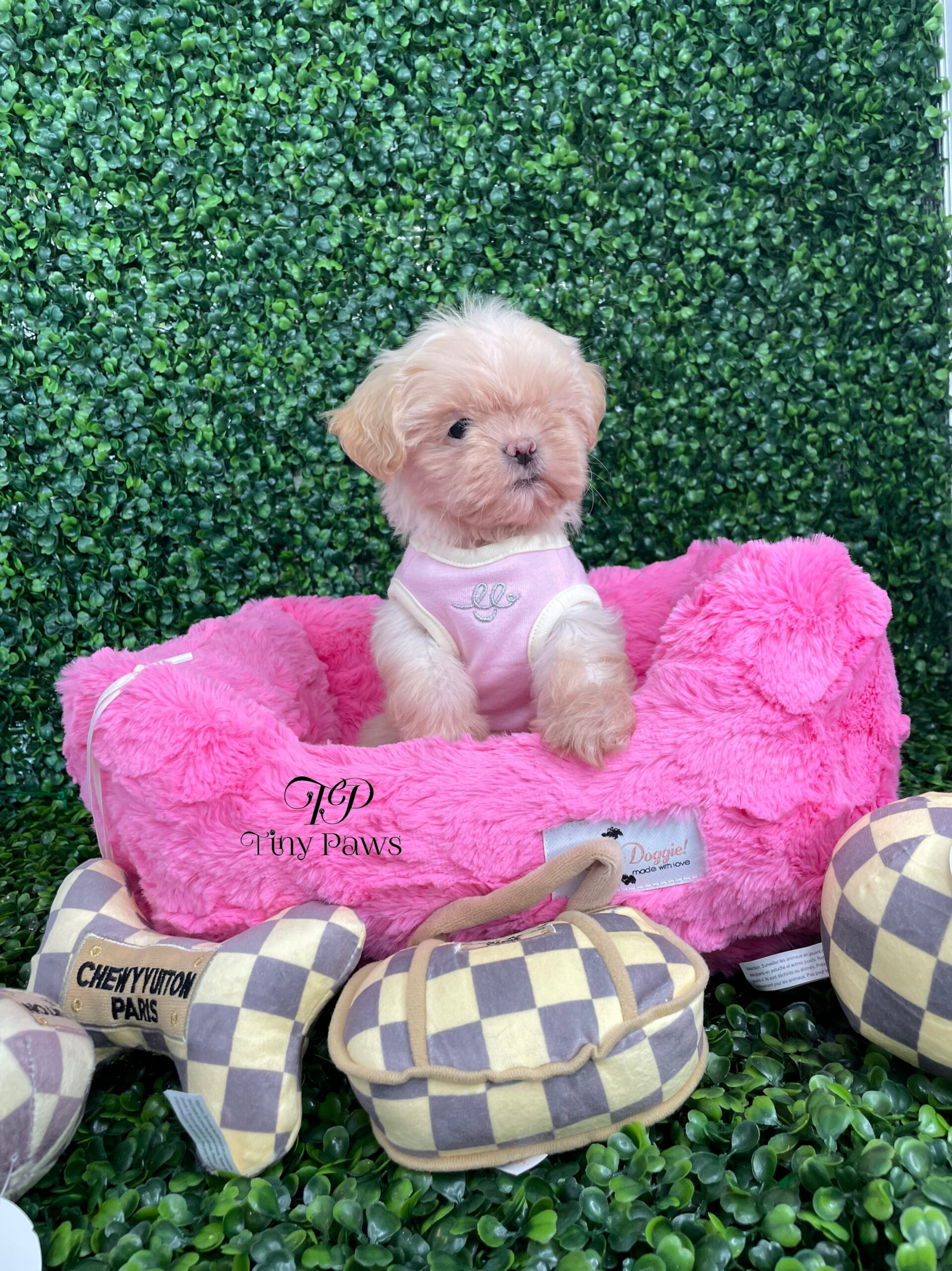 Tiny Imperial Shihtzu Puppy For Sale