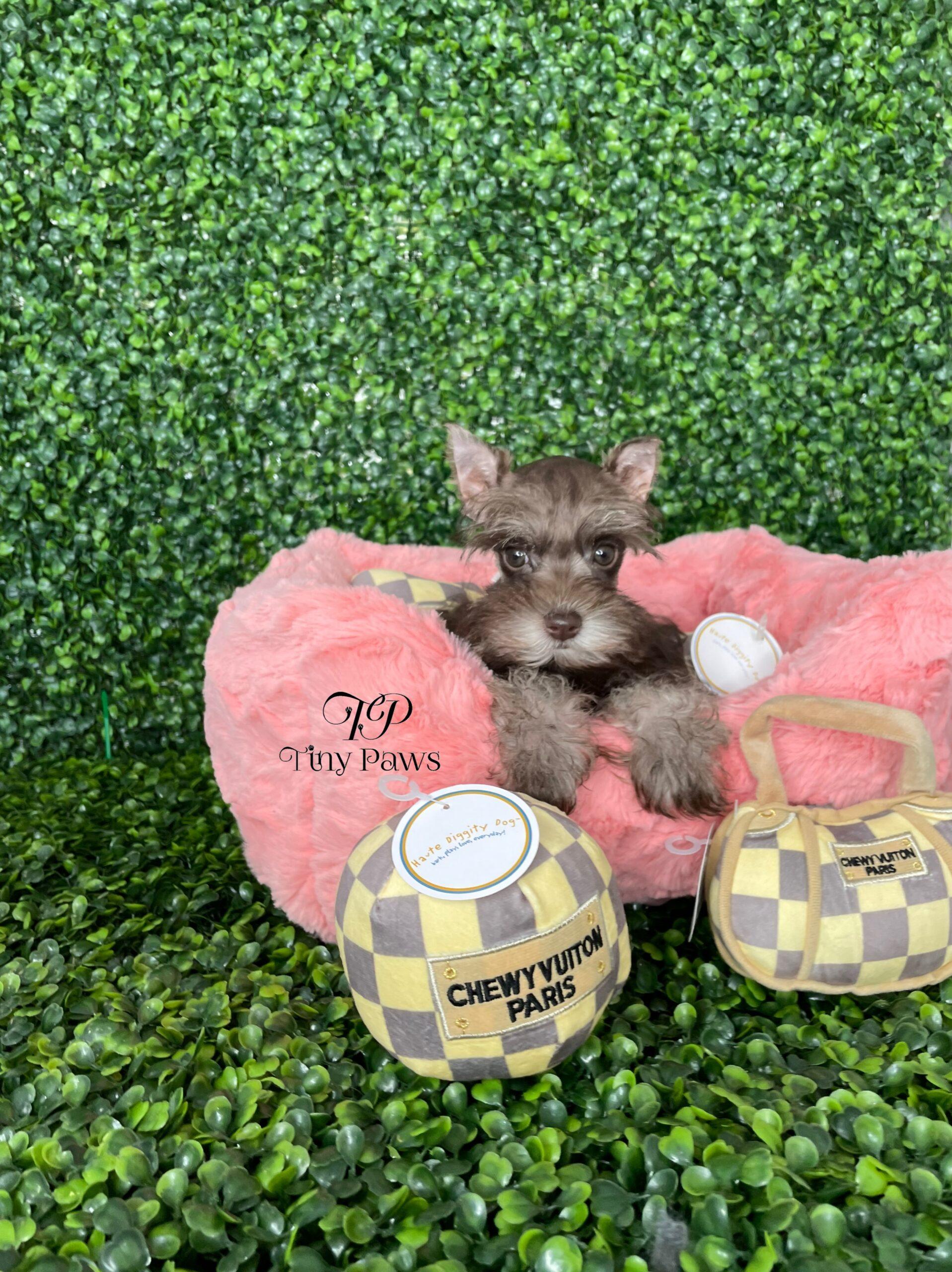Mini Schnauzer Puppy For Sale